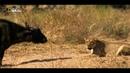 Львиное королевство - гордость и наказание. Документальный фильм Nat Geo Wild HD