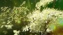 От 40 (сорок) болезней , Магическая МУЗЫКА, Дарит Мир И Довольство, Цветы Королевских Особ