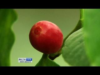 ТЕПЛИЦА-КОФЕ:Сочинские агрономы выращивают кофе и стабильно получают хороший урожай