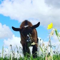 Козий Коровий мир
