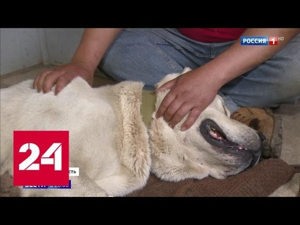 Волок за машиной в Подмосковье спасли от живодера собаку породы алабай Россия 24