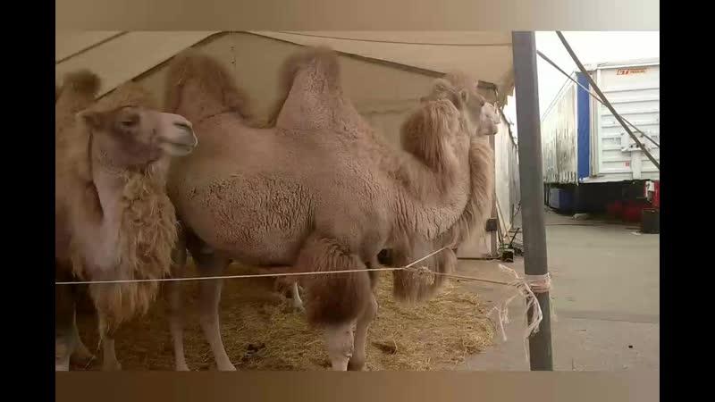 Цирк у Космопорта рядом с Ашаном Верблюдам привезли сено