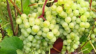 Виноград не хуже, чем на юге! Часть первая – десертные сорта