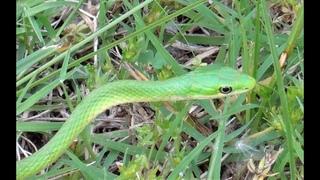 Неядовитая Травяная змея . оклахома сша.