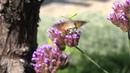 The Hummingbird Moth. Бражник языкан - бабочка колибри