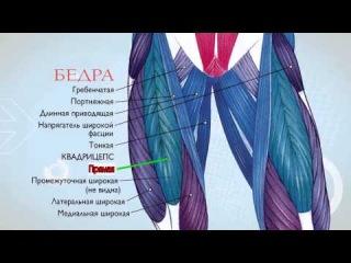 Анатомия, Экскурс по основным мышцам человека