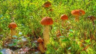 Достойные поляны подосиновиков | Сбор благородных грибов в смешанном лесу | Красные грибы 2020