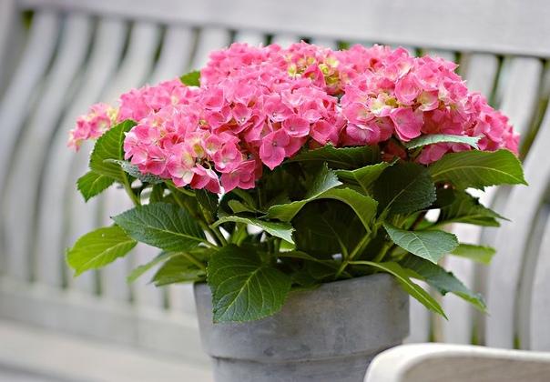 Шесть правил выращивания комнатной гортензии