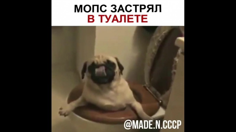 Мопс застрял в туалете _dog__joy_ - мопс - застрял - туалет - винипух ( 750 X 750 ).mp4