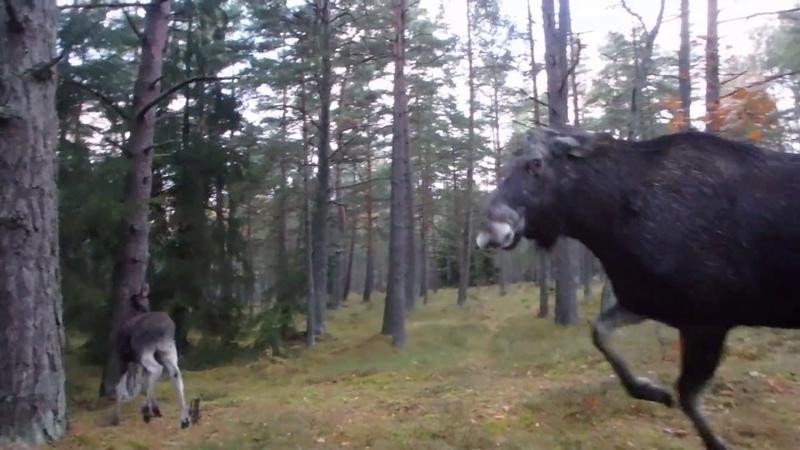 Лосиха защищает лосёнка Elk protects the Little Elk