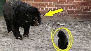 Медведь Подошел к Коту и То, Что Случилось Дальше, Невероятно