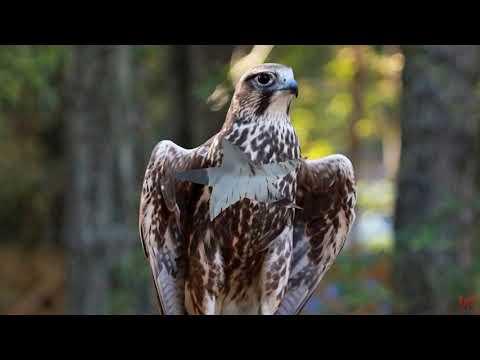 Балобан лат Falco cherrug