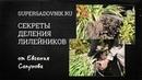 СЕКРЕТЫ ДЕЛЕНИЯ ЛИЛЕЙНИКОВ (от Евгения Сапунова)