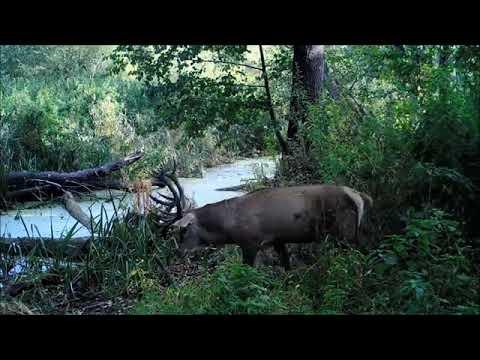 В Усманском бору благородные олени попали в фотоловушку