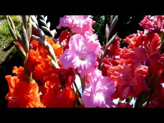 Мои любимые Гладиолусы! под музыку поль мориа - вальс цветов. Picrolla