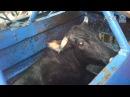 КОШЕР Ужасающая жестокость кошерных боен Horrific Cruelty Filmed in Kosher Slaughterhouses