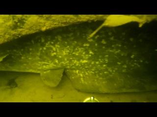 Сомик Гаврюша который живет в покрышке)))подводная охота 2016.