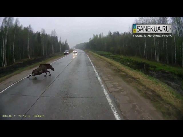 Осторожно животные на дороге