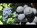 Вина Сент-Эмильон: классификация - Азбука вин Бордо (выпуск 35)