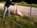 Man frees wolf from fence