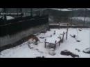 Амурская тигрица из Калининграда научилась лепить огромные снежные шары