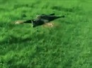 Кот-вертолёт. CatCopter (dubstep)
