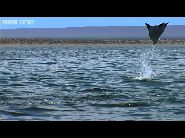 Pelicans and Flying Rays (Narrated by David Tennant) - Earthflight - BBC One