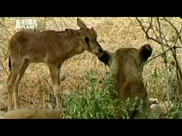 Невероятно Львица приютила дитя антилопы Загадка природы Любовь победила голод