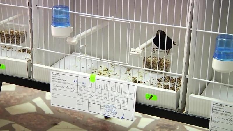 Expozitia Ornitologica de papagali canari pasari exotice indigene hibrizi decembrie 2013