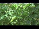 Формирование томатов в 1 - 2 - 3 стебля Пасынкование