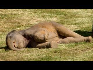 Mother Elephant Can't Wake Sleepy Baby