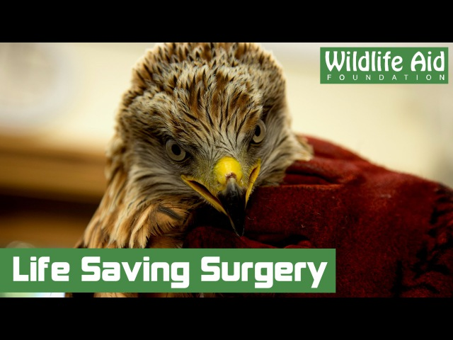 Ортопедическая операция для красного коршуна Orthopaedic Surgery for Beautiful Red Kite