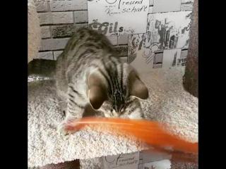 Продается шикарный шотландский котенок из питомника Icy Assol Леонардо черный пятнистый (SFS 71 n 24)