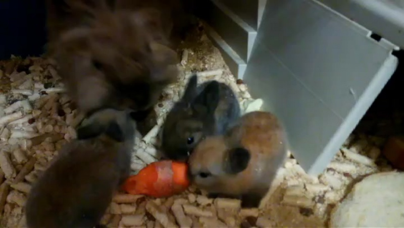 У нас пополнение : три крольченка -малыша подросли , кушают самостоятельно и очень ждут своих новых  хозяев ! Хозяин ,Где ты 😁?