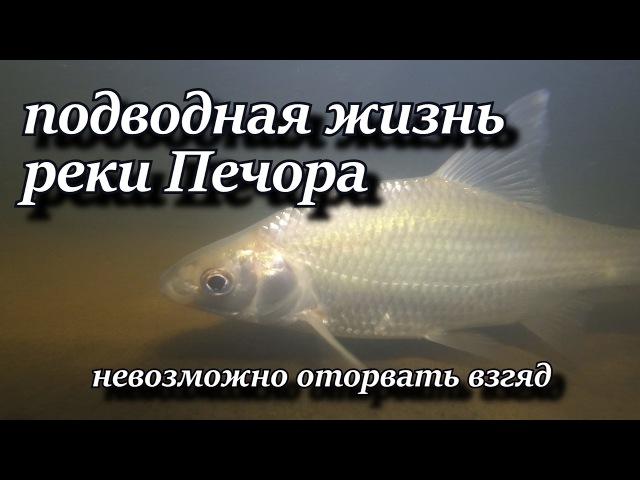 Подводная жизнь реки Печора
