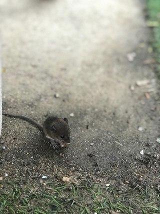 много крысы во вьетнаме на улицах фото представляет собой полную