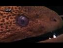 Водные ангелы или исчадия ада - Рыба фугу. Морской огурец.