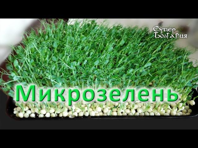 Микрозелень Microgreens Выращивание микрозелени Природное земледелие