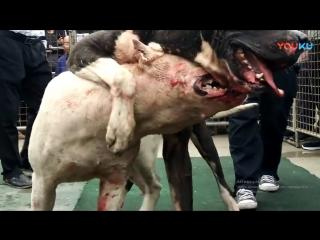 Dogo argentino vs bully kutta
