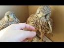 Сокол пустельга Реабилитация птиц Falcon of the Kestrel Rehabilitation of birds