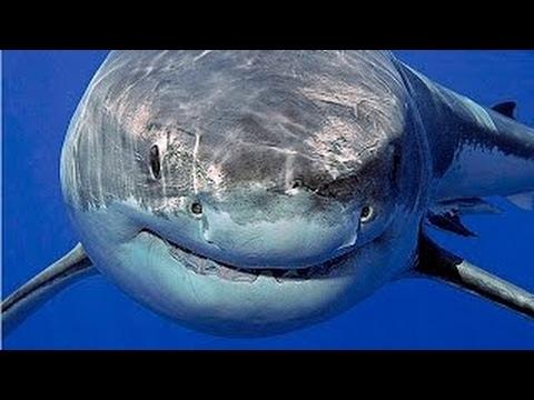 Доисторические хищники Акула чудовище Мегалодон