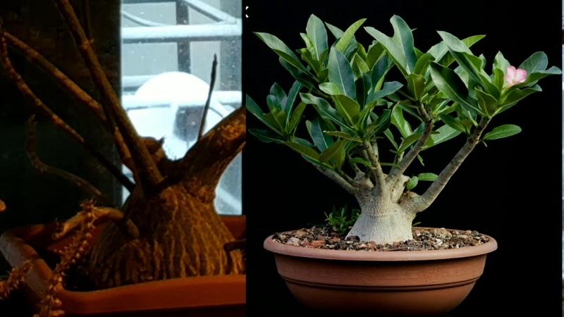 КАУДЕКСЫ фантастические растения самые необычные сукуленты Коллекция Аптекарского огорода