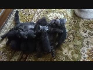 Продаем шотландских котят Казань