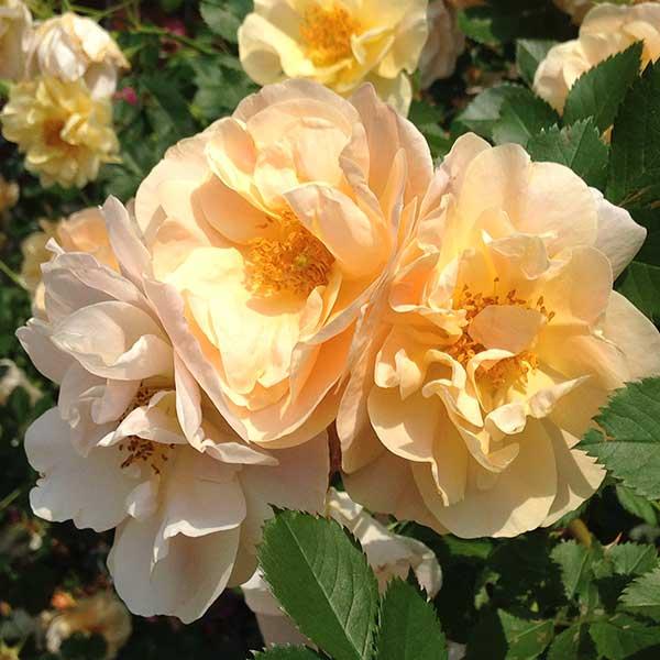 роза Above & Beyond