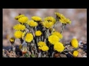 Лечим кашль с помощью травы Мать и Мачеха