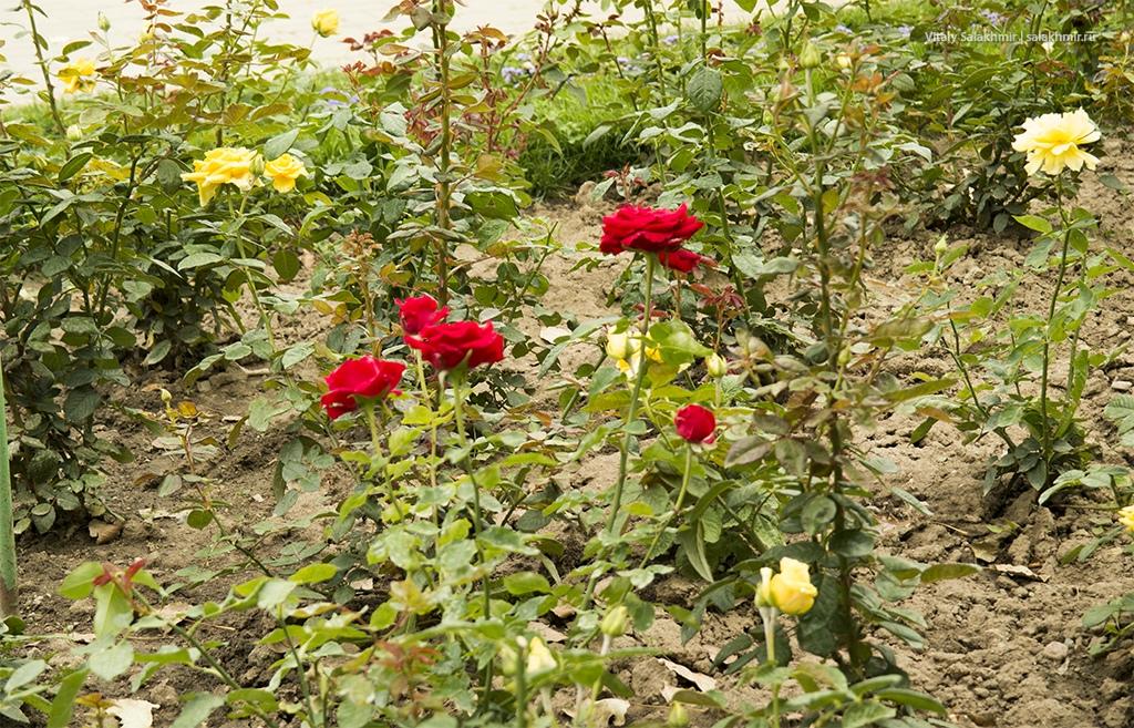 Розы в Парке Первого Президента, Алматы, Казахстан 2019