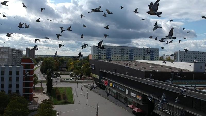 Angriff der Vögel in Halle Saale BIRDS ATTACKING DRONE SPARK BIRDCOLLISION