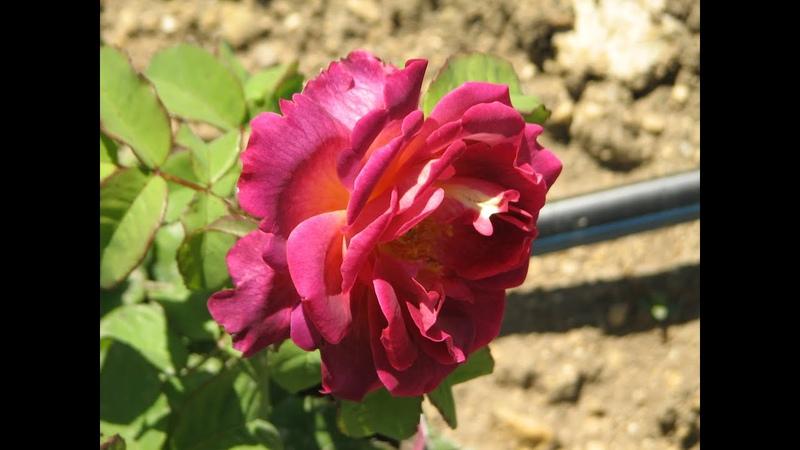 хлороз на розах как определить причины и лечение chlorosis on roses what causes and treatment