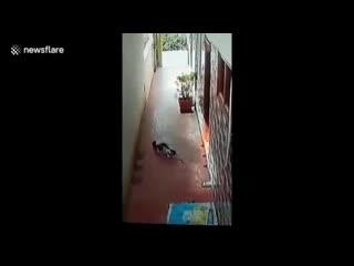 Кошка вынесла из дома кобру и спасла детей. Индия