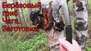 29 Мая 2020 - Березовый гриб чага. Заготовка чаги.